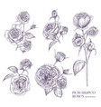 pion-shaped rose isolated  plant vector image