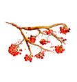 watercolor painting - rowan berry branch vector image