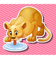 Cute lion drinking water from the puddle vector image vector image