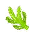 Pine or spruce Christmas tree branch vector image