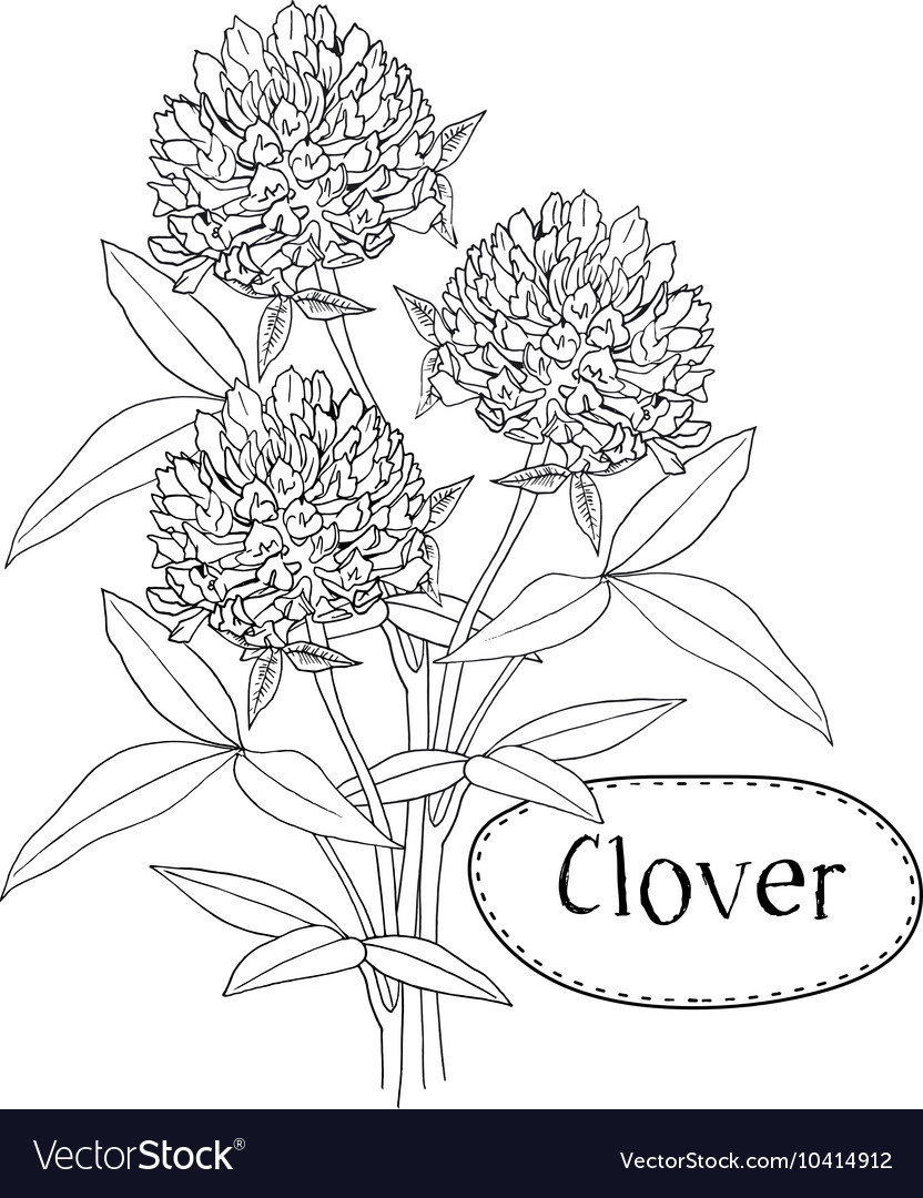 Clover or trefoil flower medicinal herbs isolated vector