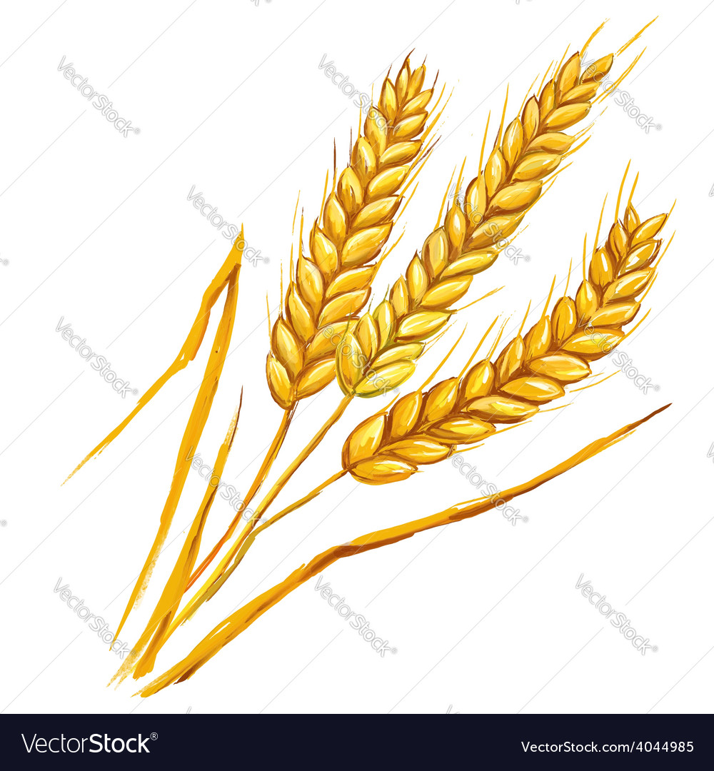 Ears of wheat hand drawn vector