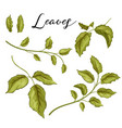 hand drawn rose leaves on branch set vector image