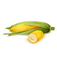 Corn stalk isolated vector image