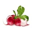 Fresh radish isolated vector image