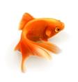Goldfish photorealistic vector image vector image