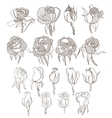 hand drawn roses set vector image