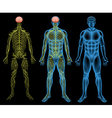 Male nervous system vector image