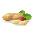 peanut fruit vector image vector image