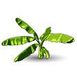 banana leaf isolated on white background vector image