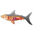 Anatomy of a shark vector image