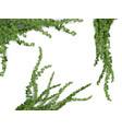 realistic ivy set vector image