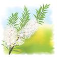 melaleuca tea tree vector image vector image