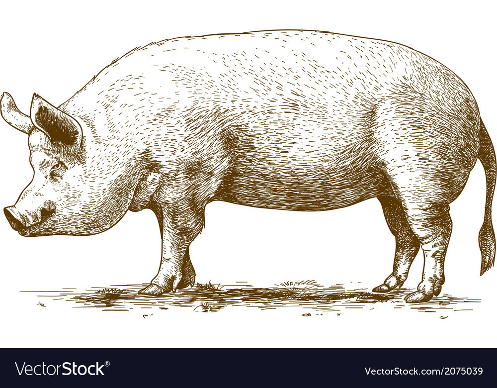 Engraving big pig vector