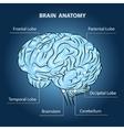 Brain Anatomy vector image
