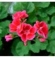 Geranium pelargonium flowers vector image vector image
