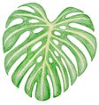 Watercolor green leaf vector image