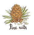 Pine nuts and pine cones Hand drawn Isolated vector image