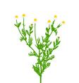 chamomile vector image
