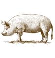 engraving big pig vector image