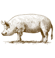 engraving big pig vector image