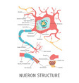 cartoon structure of a neuron vector image