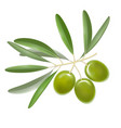 realistic detailed color olives branch with leaves vector image