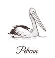 pelican sketch vector image
