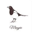 magpie sketch vector image