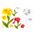 yellow and red canna lily flower outline vector image