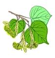 Linden Blossom vector image