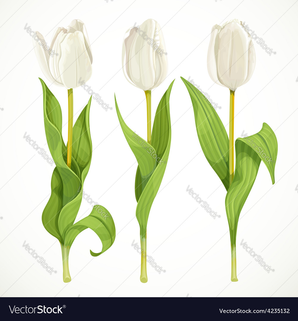 Three white tulips isolated on a white vector