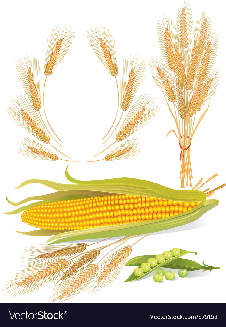Cereal plants set vector