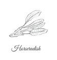 horseradish sketch vector image