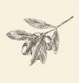 olive branch olive tree branches vintage vector image vector image