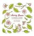 cherry flowers set vector image