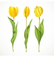 Three yellow tulips isolated on a white vector image