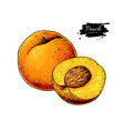 peach drawing isolated hand drawn peach vector image