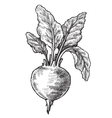 hand drawn of beet vector image