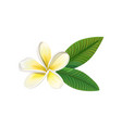 frangipani flower with leaves vector image