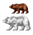 bear animal sketch of walking brown grizzly vector image