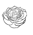 Rose in the style of black and white engraving vector image