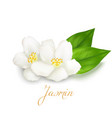 jasmine flower and leaf vector image