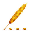 ear and grains of wheat vector image