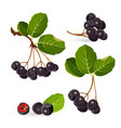 Branches of aronia with green leaves on white vector image