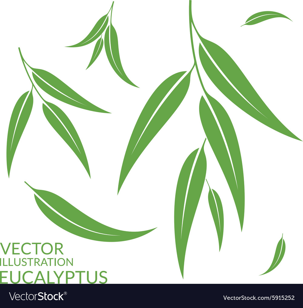 Eucalyptus isolated leaves on white vector