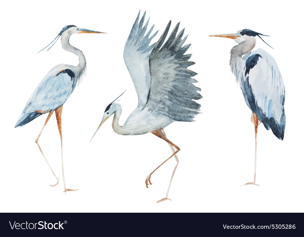 Watercolor heron birds vector