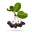 Aronia chokeberries isolated on white Branch of vector image