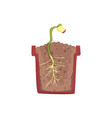 plant growing from seed of a bean in a pot with vector image