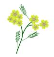 Yellow Yarrow Flowers or Achillea Millefolium vector image